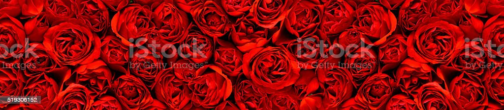 Red roses in a panoramic image stock photo