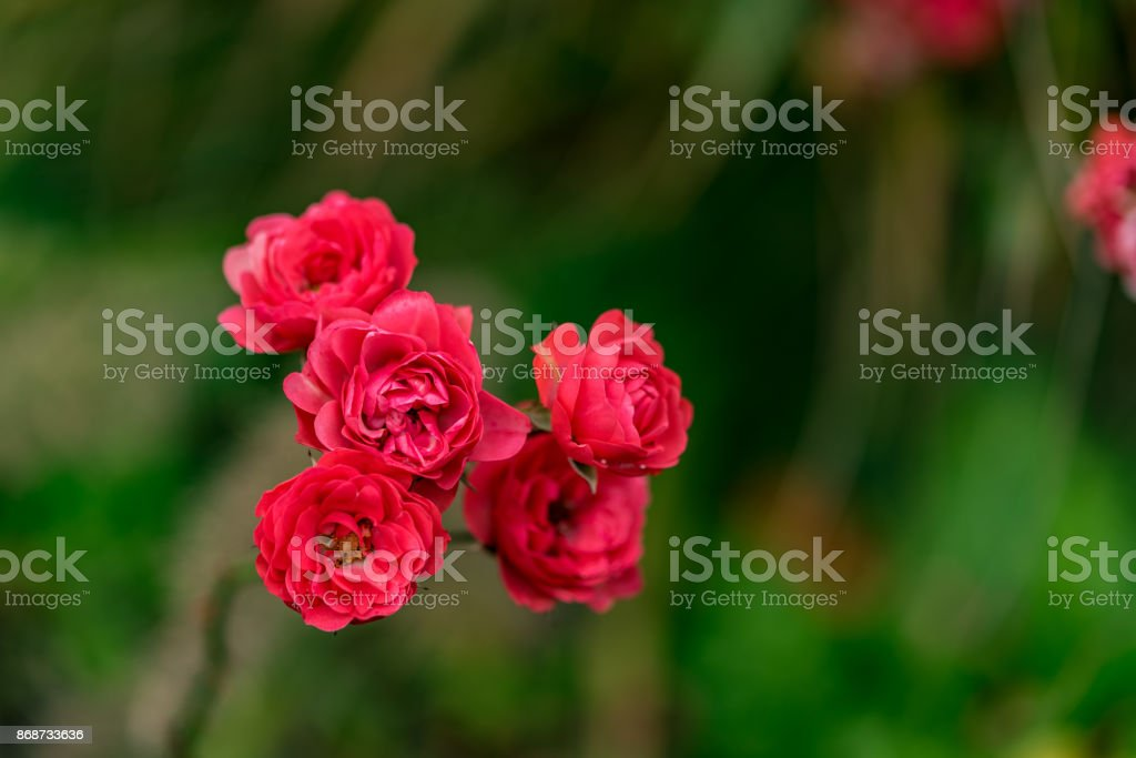 Red roses in a park at sunshine stock photo