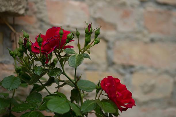 Rote Rosen in einer rotten yard – Foto