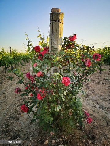 red roses ina vineyard at sunset in Penedes wine region, Catalonia, Spain