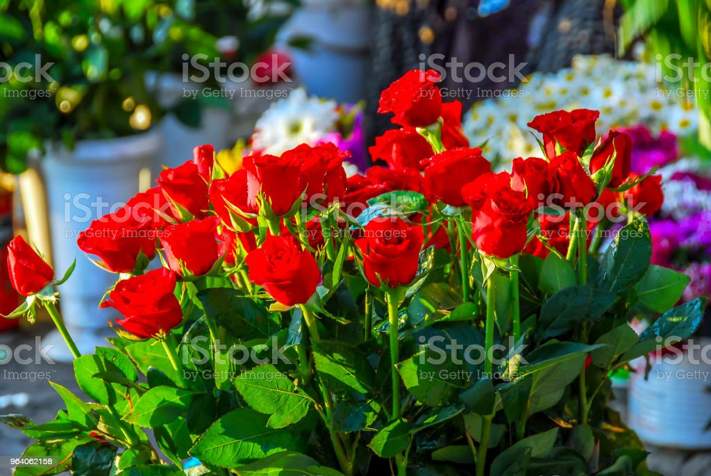 Red Roses in Garden - Royalty-free Agricultural Field Stock Photo