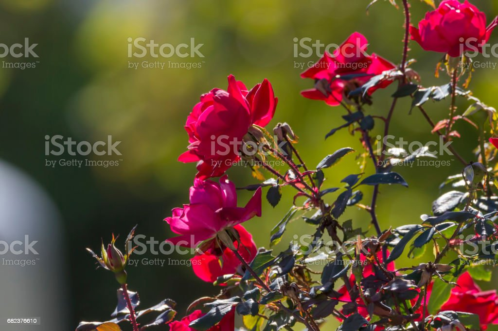 red roses in the morning sun royalty-free stock photo