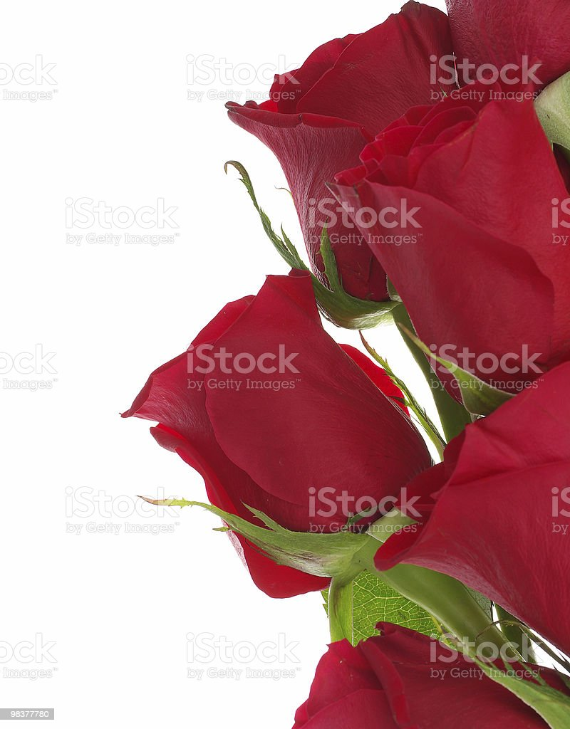 Red roses isolated on white royalty-free stock photo