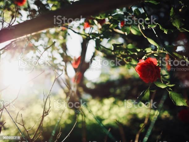 Красные Розы Мая Кореи Чхонджу — стоковые фотографии и другие картинки Белый