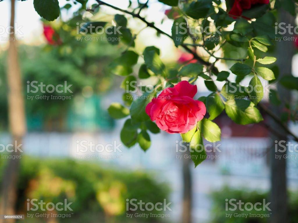 Red roses of May of Korea Cheongju city - Royalty-free Beauty Stock Photo