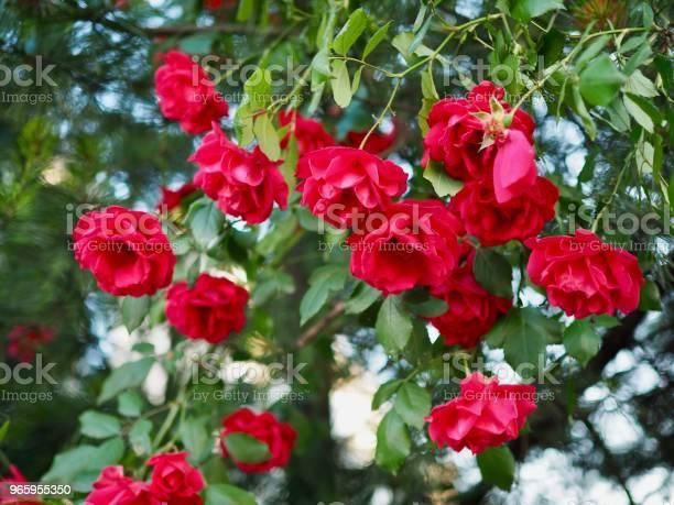 Rode Rozen Van Mei Van Korea Cheongju Stad Stockfoto en meer beelden van Beschrijvende kleur