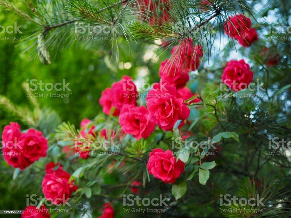 Rode rozen van mei van Korea Cheongju stad - Royalty-free Beschrijvende kleur Stockfoto