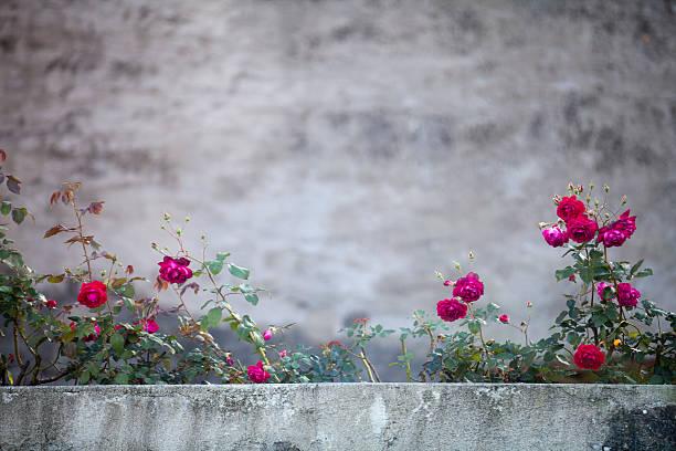Red roses on a concrete wall picture id513532743?b=1&k=6&m=513532743&s=612x612&w=0&h=hzsiubgeq3dmkeqj1ha8y71rfa5bryxsdpbgrit nlm=