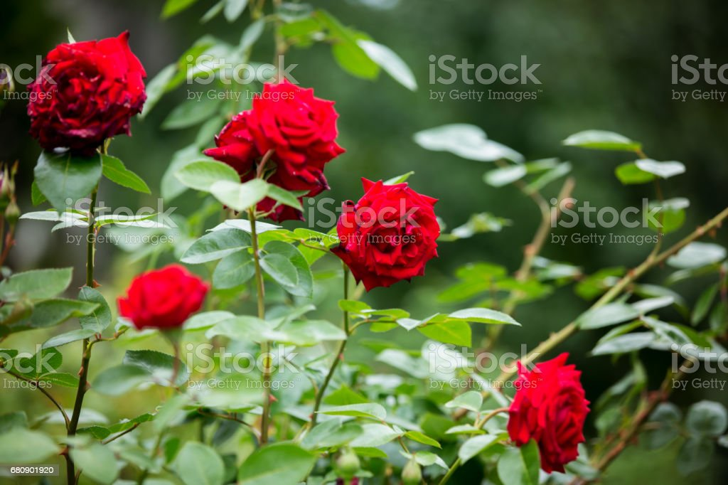 Red roses on a gush in a garden, summertime royalty-free stock photo