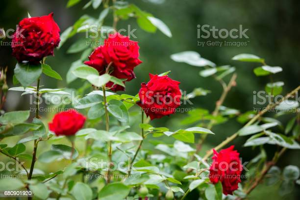Red roses on a gush in a garden summertime picture id680901920?b=1&k=6&m=680901920&s=612x612&h=b74ibh  2yeg7n sv6z6k ptddjgtg3xwnjsmjqoxgi=