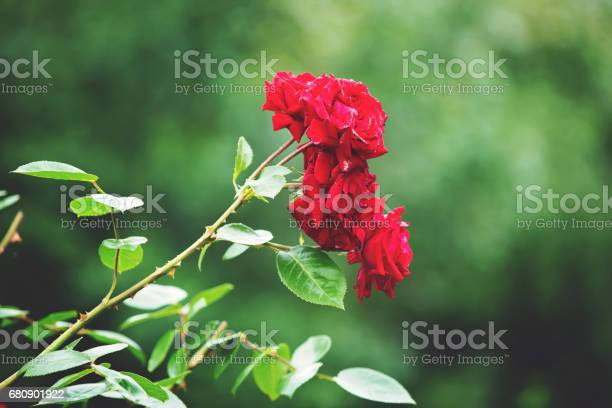 Red roses on a gush in a garden summertime picture id680901922?b=1&k=6&m=680901922&s=612x612&h=ln vewlddrztl5g avvlftrexb3yphgyjkglniyjrfq=