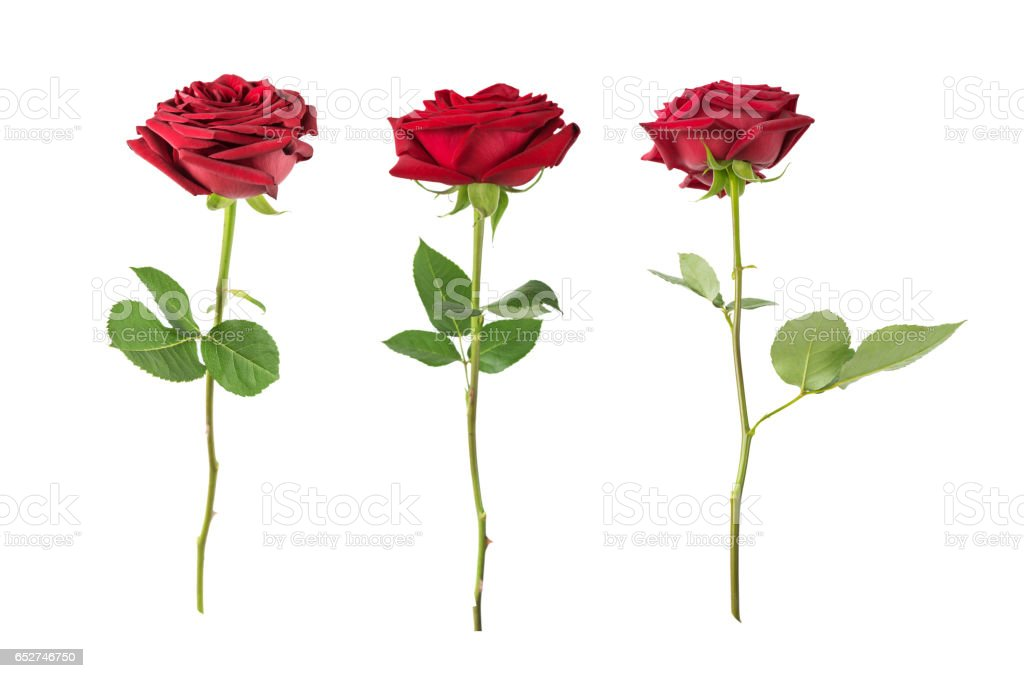 Red roses on a white background stock photo