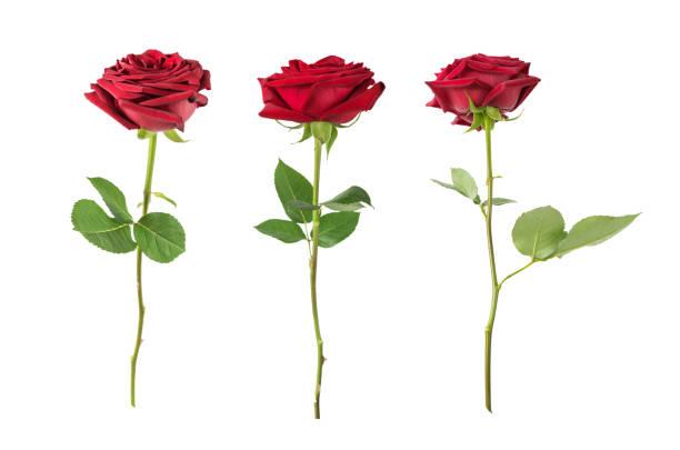 Rosas rojas sobre un fondo blanco  - foto de stock