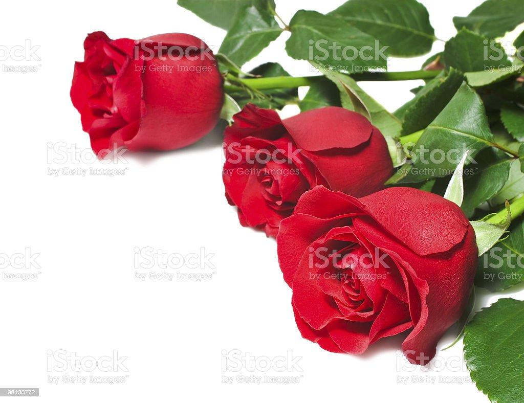 빨간 장미 흰색 배경 royalty-free 스톡 사진