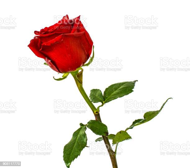 Red roses on isolated background colors without background bright picture id905117770?b=1&k=6&m=905117770&s=612x612&h=prtwkakdsw3uz99jtedrr0qlddcpmtg4hlsilyqh73y=