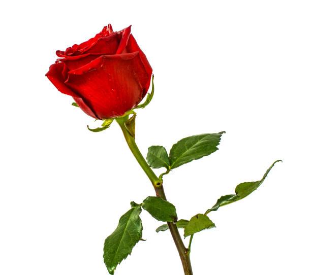 Rote Rosen auf isolierte Hintergrundfarben ohne Hintergrund, helle saftige Rose, – Foto