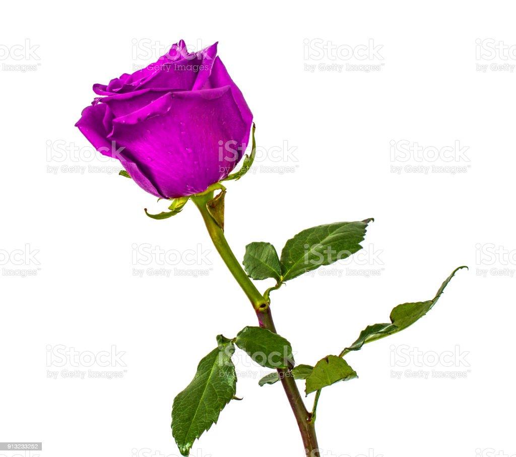 Rote Rosen Auf Isolierte Hintergrundfarben Ohne Hintergrund Helle