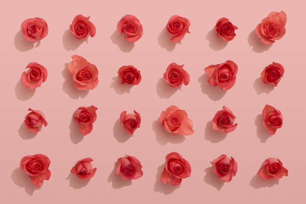 Red roses on pink background stock photo
