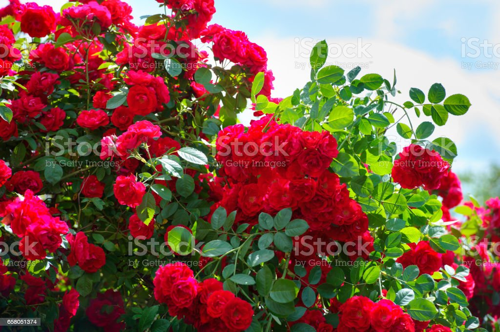 red roses on sunny sky background stock photo