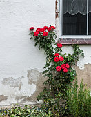 red roses on the wall of an old facade with window