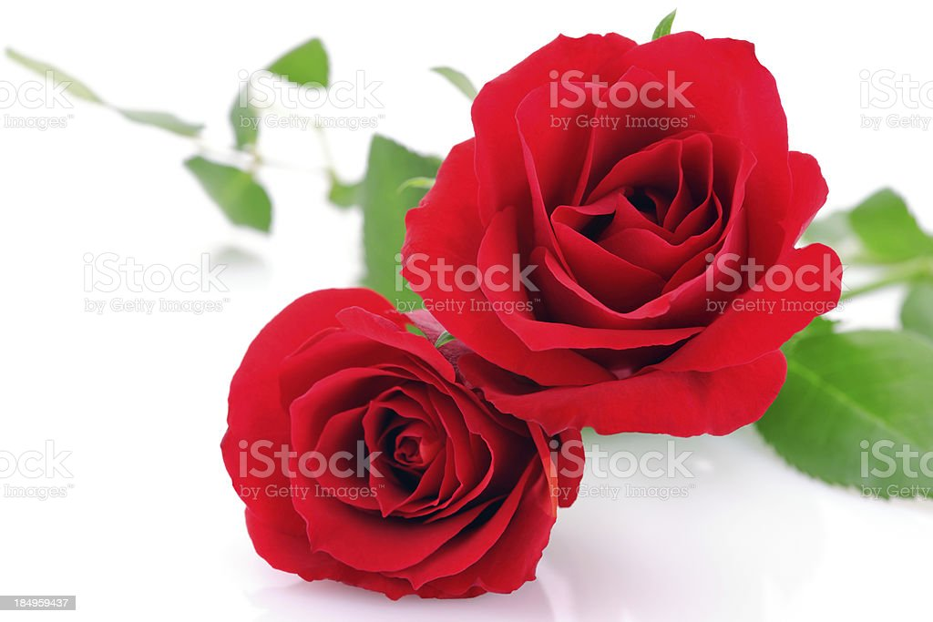 Red Roses on white with copy space royalty-free stock photo