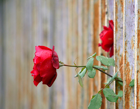 Red roses out of a metal fence