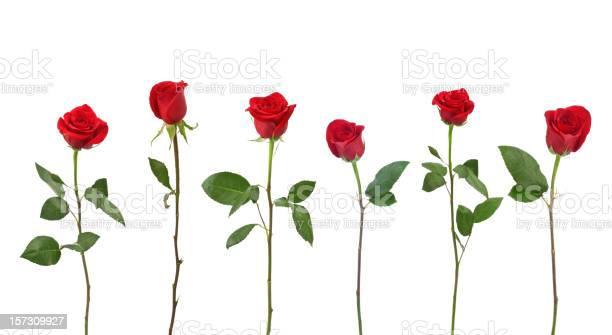 Red roses picture id157309927?b=1&k=6&m=157309927&s=612x612&h=nvisutpimrrpd6mi4eyrpleua9auxvljerhp0o5sv5q=