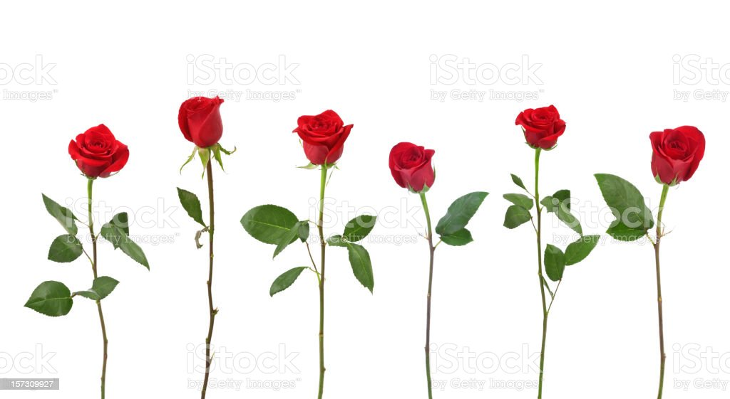 Red Roses (XXL) stock photo