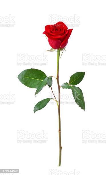 Red roses picture id172414528?b=1&k=6&m=172414528&s=612x612&h=db5z xxqroer25hvkcvmaibd8qm5axyrpfnbqu47xtg=