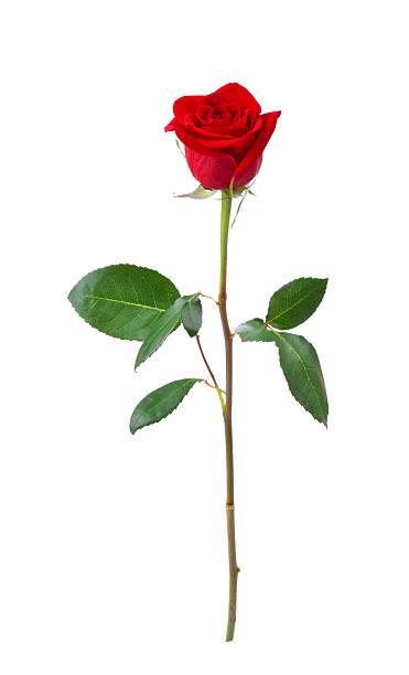 Red roses picture id172414528?b=1&k=6&m=172414528&s=612x612&w=0&h=l6sfvj7cvtmb9jeo5ykmxfyj3fyrtam  92w5fdygnk=