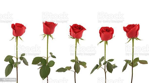 Red roses picture id182445946?b=1&k=6&m=182445946&s=612x612&h=rml3d9owerqcf5vybgtzvgicieq83rdjablq746fbvo=
