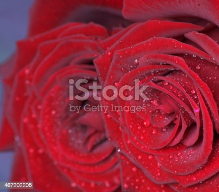 155139080istockphoto Red roses 467202205
