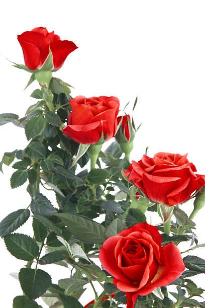 Red roses picture id471467163?b=1&k=6&m=471467163&s=612x612&w=0&h=5dzzh726t41fh3gzybrmhifjbvmhowg5gvfimhr1s2g=