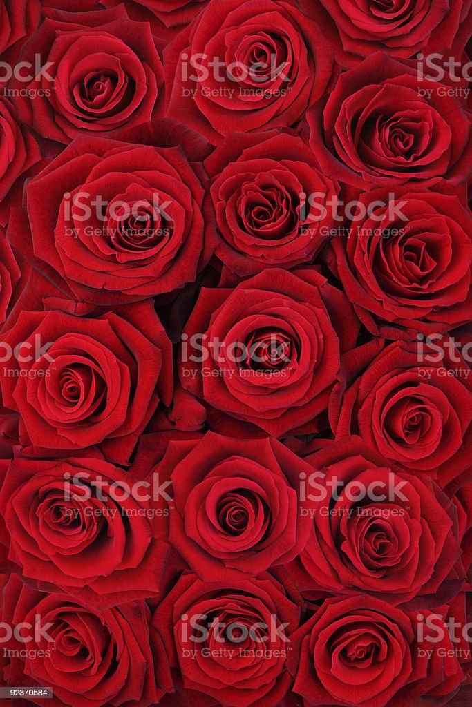 Red roses. royalty-free stock photo