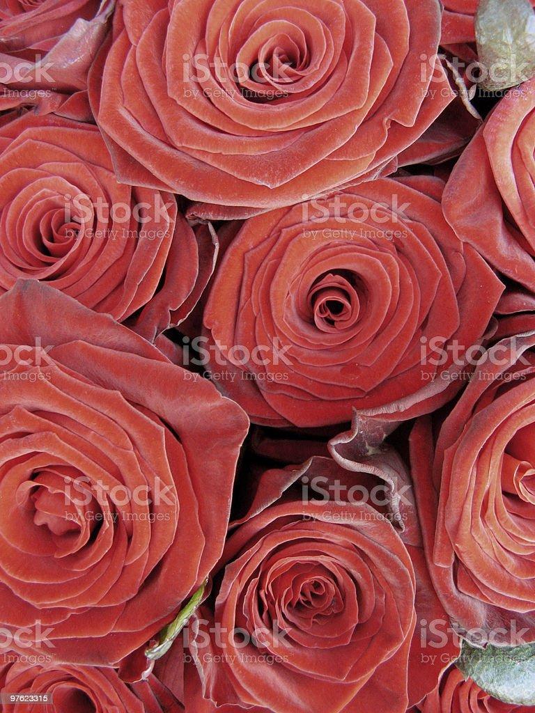 Red roses royaltyfri bildbanksbilder