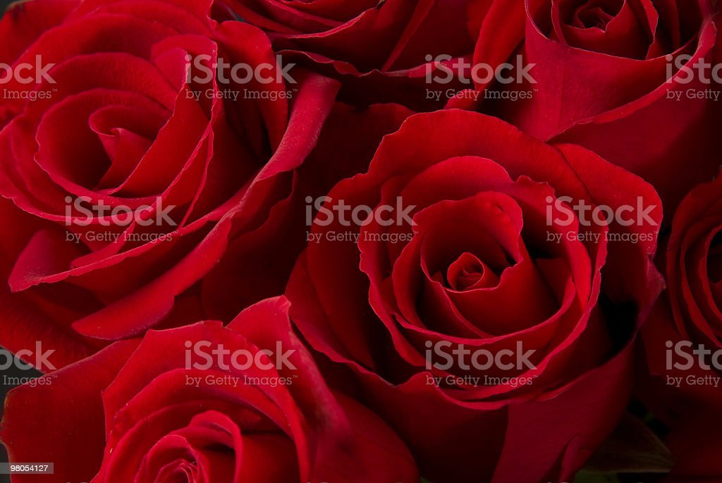 Rose rosse foto stock royalty-free