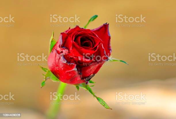 Red roses placed on old wood with backdrop blurred picture id1084409028?b=1&k=6&m=1084409028&s=612x612&h=fqvn9ya6ai0qnvglbzmaoyqibvhecm3ndxt9o lg3p0=