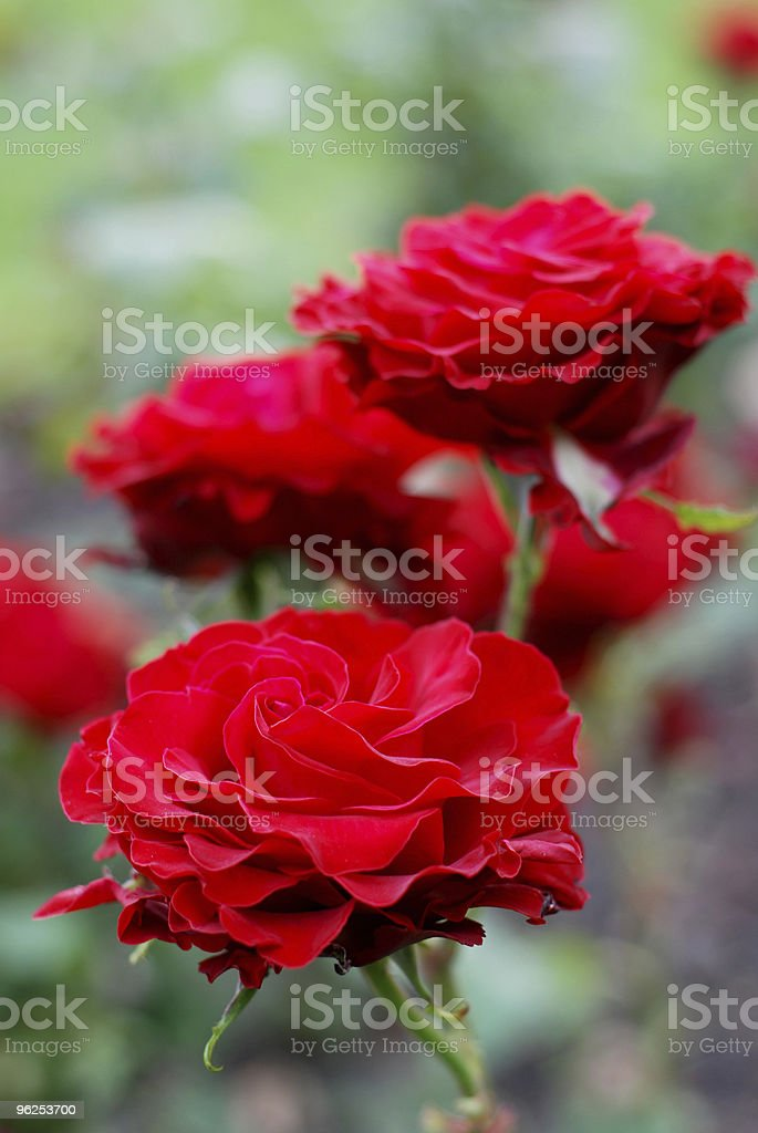 Red roses selective focus background - Royalty-free Backgrounds Stock Photo