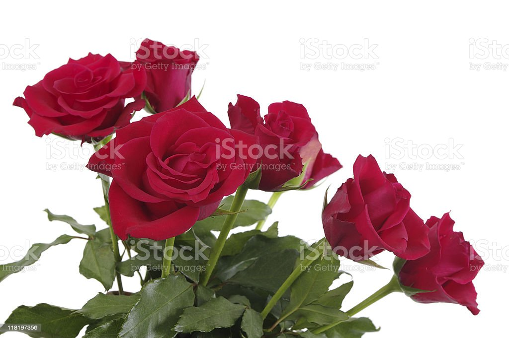 Red Roses With Foliage Isolated On White royalty-free stock photo