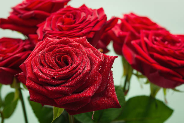 Cтоковое фото Red roses with water droplets