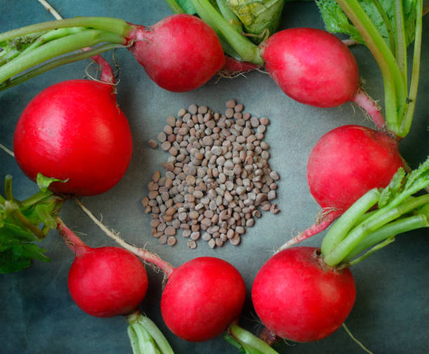 Red Round Radish and Seeds Red Round Radish  and Seeds root hair stock pictures, royalty-free photos & images