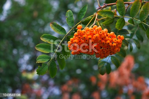 istock Red rowan berries growing in autumn nature closeup background 1043545106