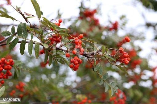 istock Red rowan berries 892804578