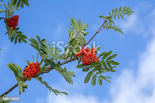 istock Red rowan tree in the end of summer 836446532