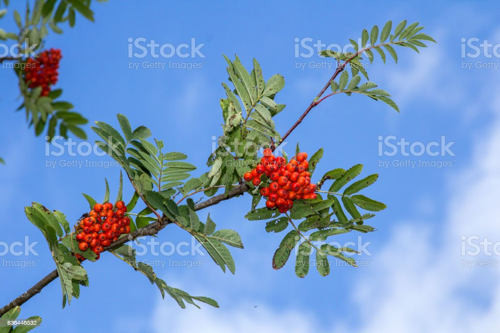 Red rowan tree in the end of summer stock photo