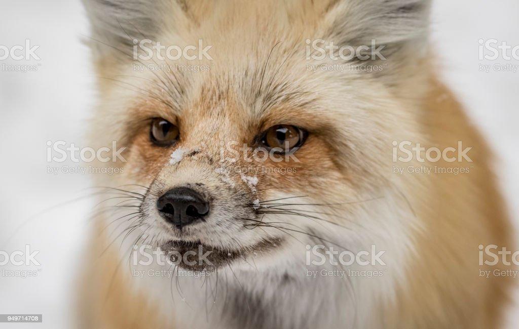 roten Rox Portrait mit Schnee auf Nase – Foto