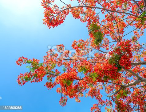 istock Red royal poinciana flowers bloom in summer 1322809086