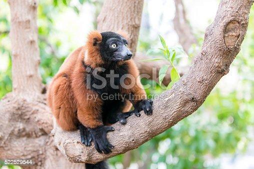 Red ruffed lemur. Madagascar. (Varecia rubra)