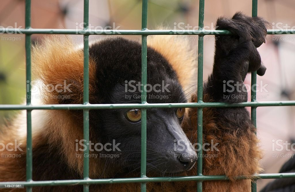 Red Ruffed Lemur royalty-free stock photo
