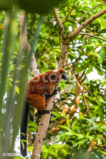 Red ruffed lemur in the tree. It is native to Madagascar and occurs only in the rainforests of Masoala, in the northeast of the island.